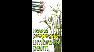 How to Propegate Umberela plant with changes #short