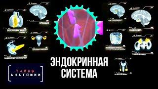 Эндокринная система. Тайны анатомии