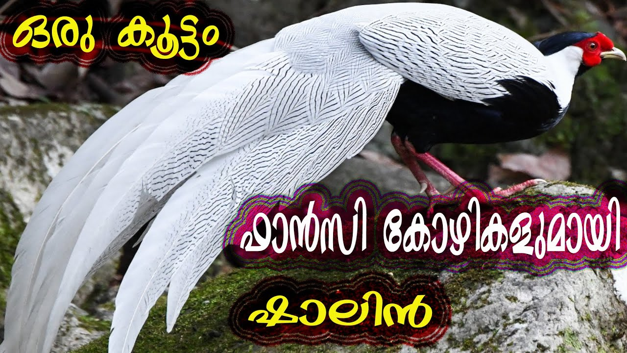 Spanish White Face, Silver Pheasant, Brahma, Milli Flower, American Silky || ഒരടിപൊളി ഫാൻസി കോഴി ഫാം