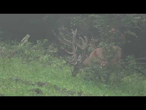 Jelen v líčí - video Čergov