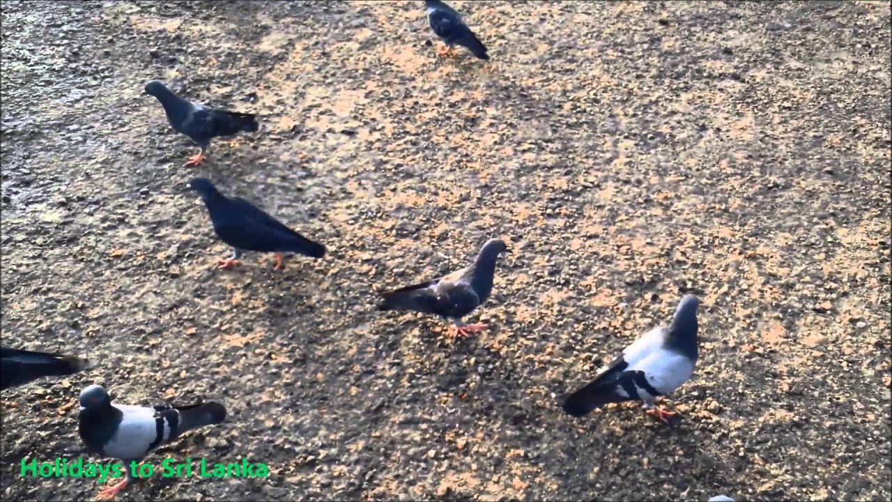 Pigeon Birds Holidays To Sri Lanka Youtube