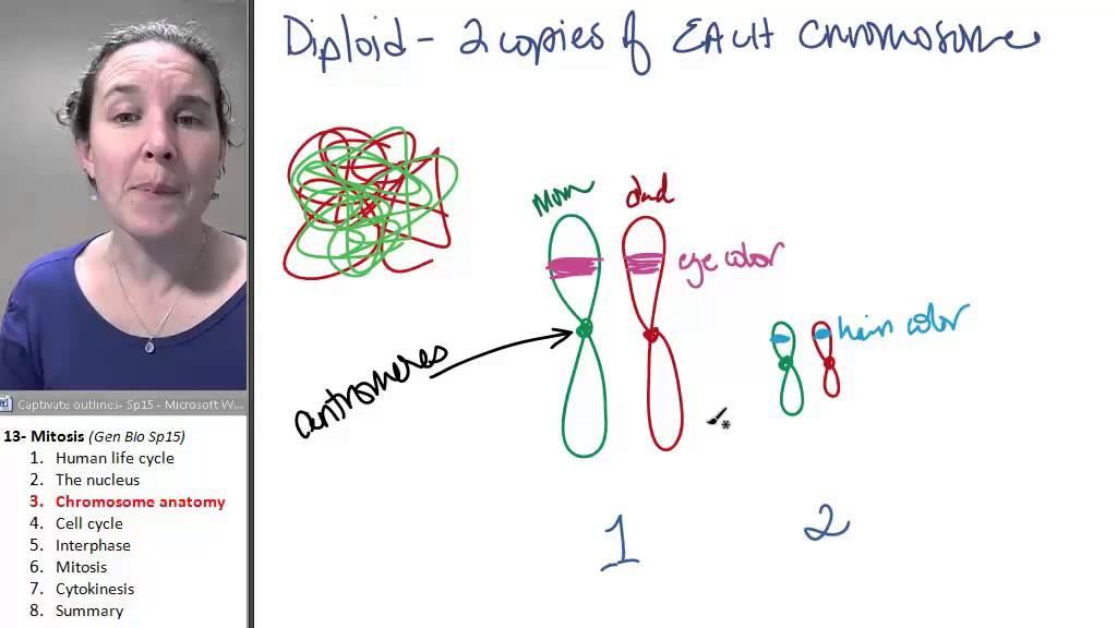 Mitosis 3- Chromosomes - YouTube