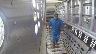 Loading Fat Cattle in Illinois.