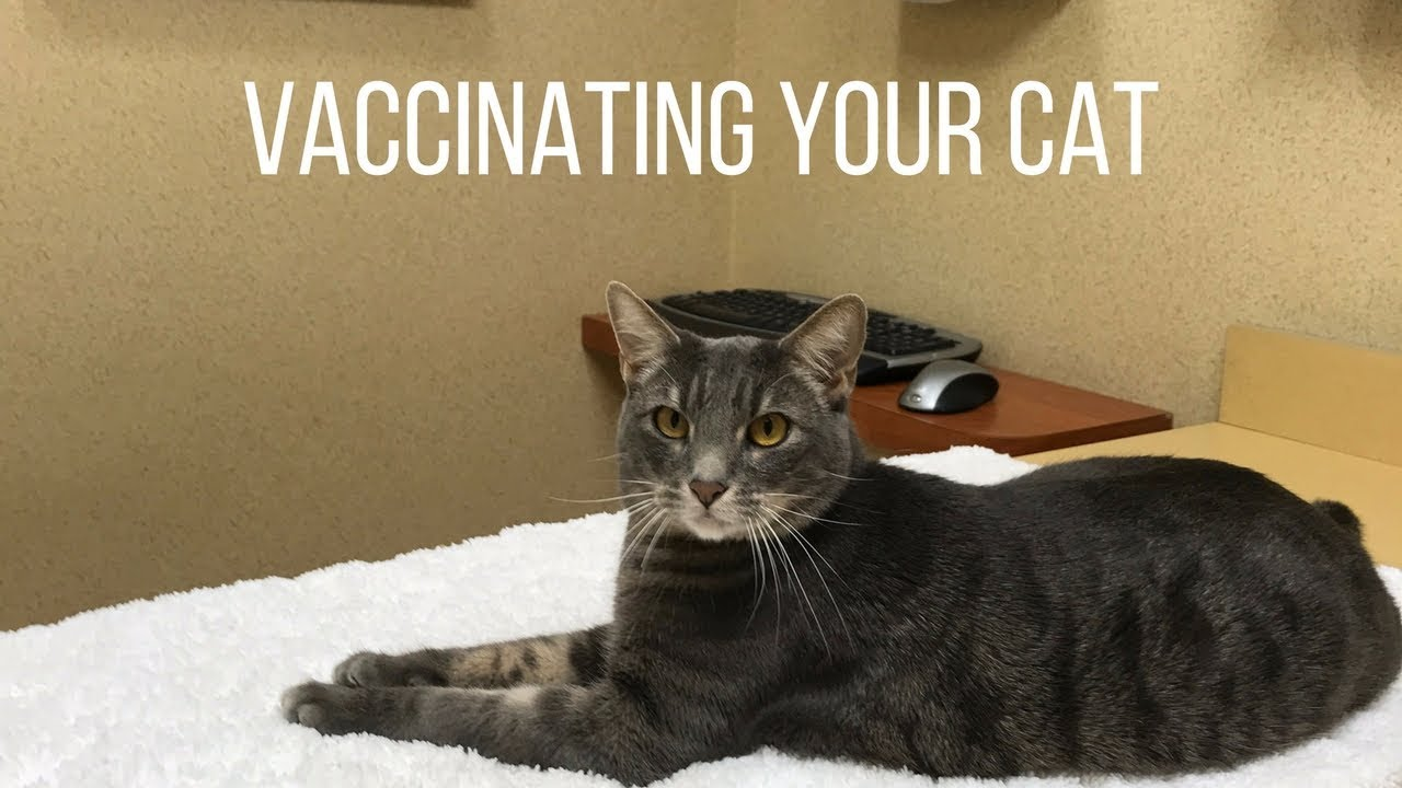 Cat Vaccinations - Everything You Should Know