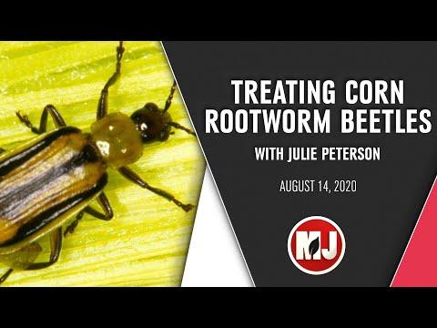 Treating Corn Rootworm Beetles | Julie Peterson | August 14, 2020