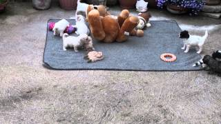 Little Rascals Uk Breeders New Litter Of Cavapoo's (cavalier X Poodle)