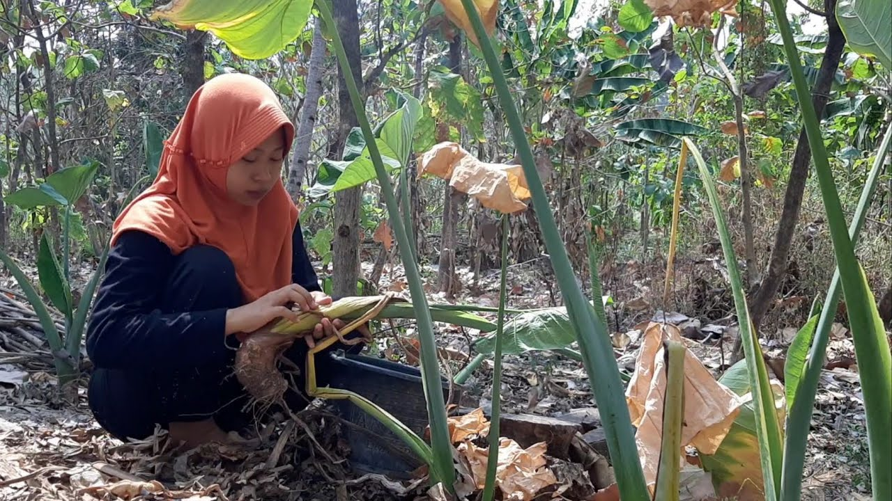 Gali Talas di Kebun, Buat Banyak Olahan Yang Enak | Make Lots of Delicious Preparations from Taro