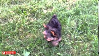 Yorkshire Terrier, Meet Chip,micro Teacup Yorkshire Terrier, Yorkie Puppy, Chanel Bridget