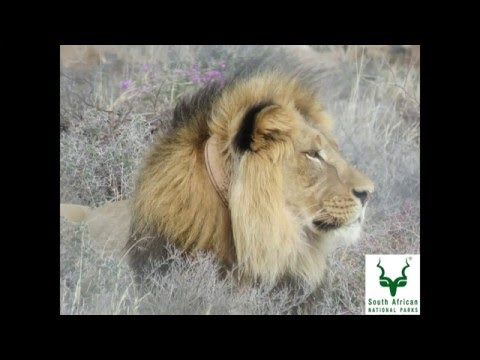 'Sylvester' the Lion from Karoo National Park (SANParks)