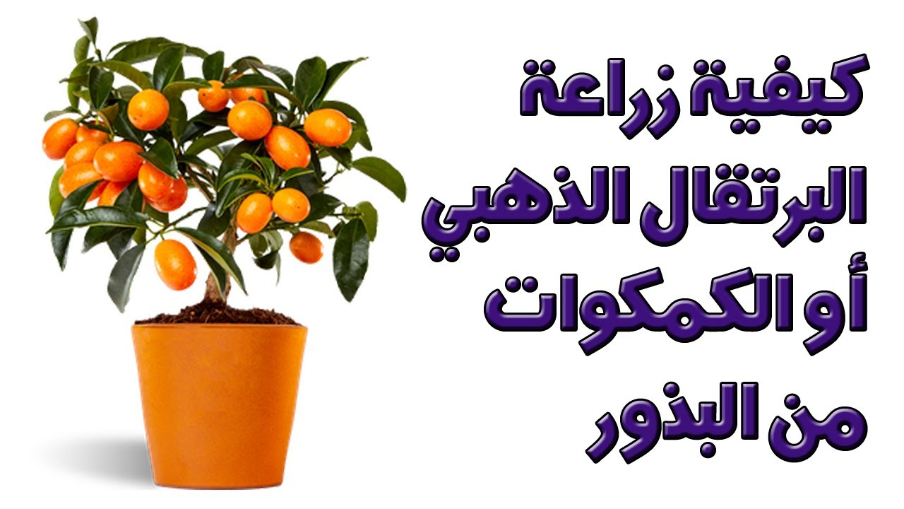 كيفية زراعة البرتقال الياباني أو البرتقال الذهبي أو الكمكوات من البذور Kumquat Citrus Japonica Youtube