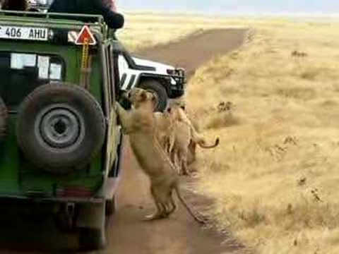 AFRICA Ngorongoro Crater Lions on Car