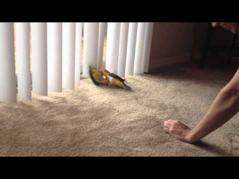 Caiques Hopping and Wrestling on the Floor