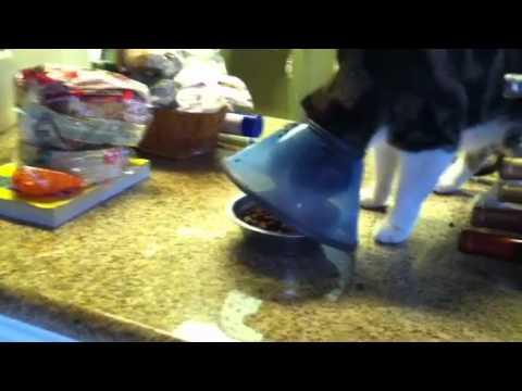 Cone Cat Eating