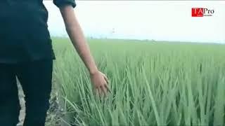 Download Lagu Maulana Ardiansyah (AYAH) ciptaan Angger mp3