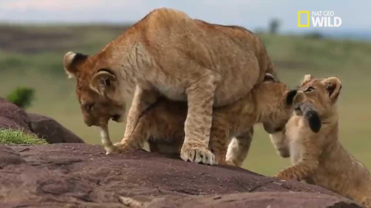 Les bébés lions apprennent en jouant - Raconté par Gérard Darmon