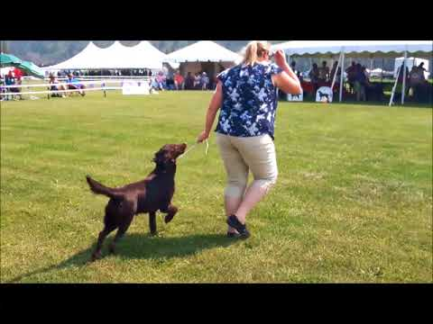 Flat-Coated Retriever puppy in conformation