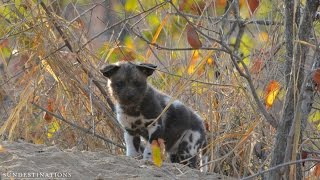 African wild dogs feed their pups