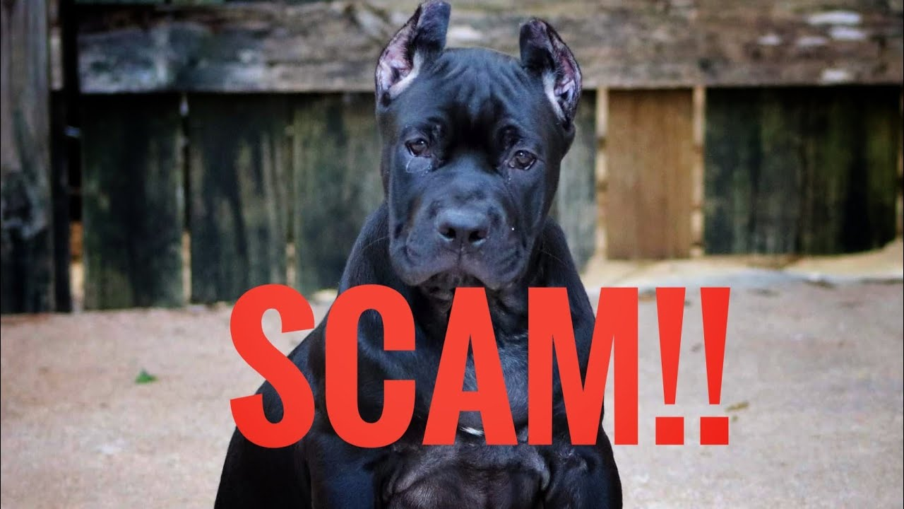 EXPOSED : The most advanced puppy scam I have ever seen