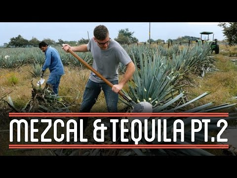 Harvesting Agave (2/3) | How to Brew Mezcal and Tequila