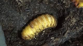 カブトムシの幼虫の蛹化(さなぎへの変態)です。 関連リンクです。 「...