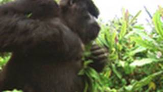 Survival Guide: Gorilla Attack | National Geographic