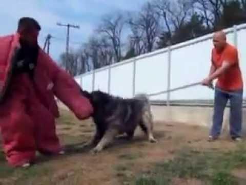 caucasian shepherd attack training - YouTube
