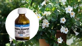 Зачем растениям перекись? Секреты применения перекиси водорода для комнатных растений.
