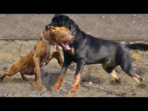 РОТВЕЙЛЕР В ДЕЛЕ... Собака с грозным видом, но мягким сердцем!