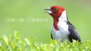 Galo de Campina,Saiba Tudo Sobre Sua Criação #PássaroseCantosOficial