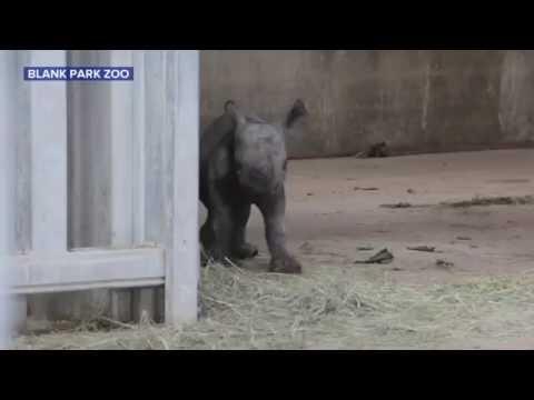 Rare Black Baby Rhino Born in Iowa Zoo
