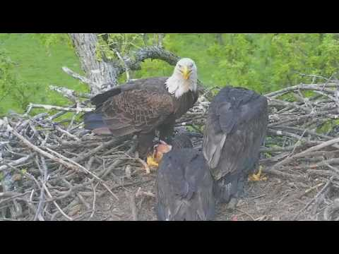 Decorah Eagles North another fawn brought in 05 25 2017