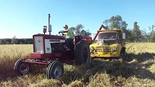 504 Farmall and IH 80 Combine in Oats