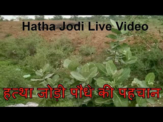 ????? ????? ???? ?? ?????, Hatha Jodi Live Video, hatta jori, hatha jori, hatha jodi plant images.