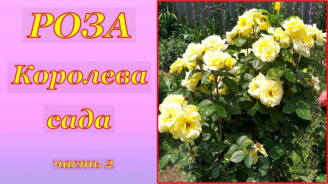 "Роза. ""Королева сада"". Часть 2."