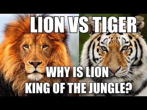 शेर को जंगल का राजा क्यों माना जाता है? - LION VS TIGER (HINDI) thumbnail