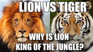 शेर को जंगल का राजा क्यों माना जाता है? - LION VS TIGER (HINDI)