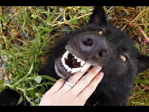Think You Want a Wolf? Think again! Vanity, Ego, & Wolfdog Owners