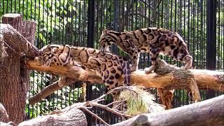 Дымчатые леопарды загорают 20.06.18