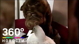 Утиные истории: в Омске утку воспитали собаки