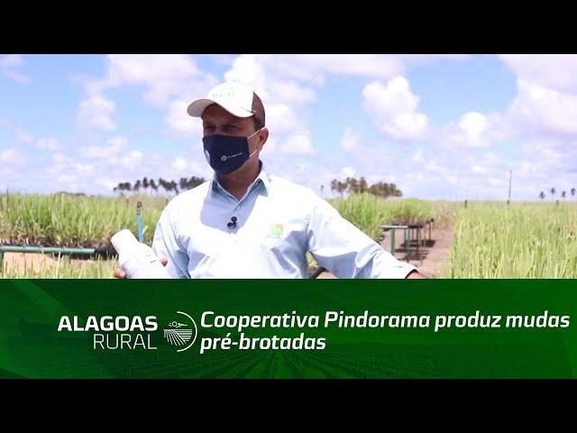 Cooperativa Pindorama produz mudas pré-brotadas de cana-de-açúcar