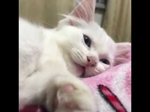 White and blue eyes kitten meowing very loudly so cute