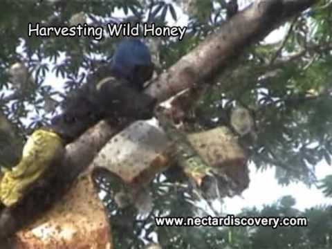 Harvesting Wild Honey