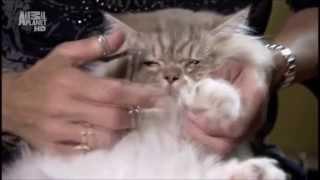 Napoleon cat (Порода кошек Наполеон) Murmulet.ru