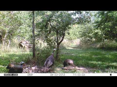 turkeys feeding at deer food plot during the day