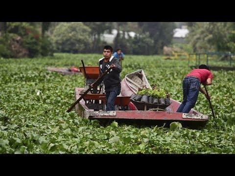 Шеф-повара покупают овощи, выращенные на плавучих островах ацтеков (новости)