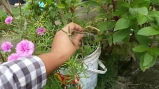 How to plant Vietnam Rose