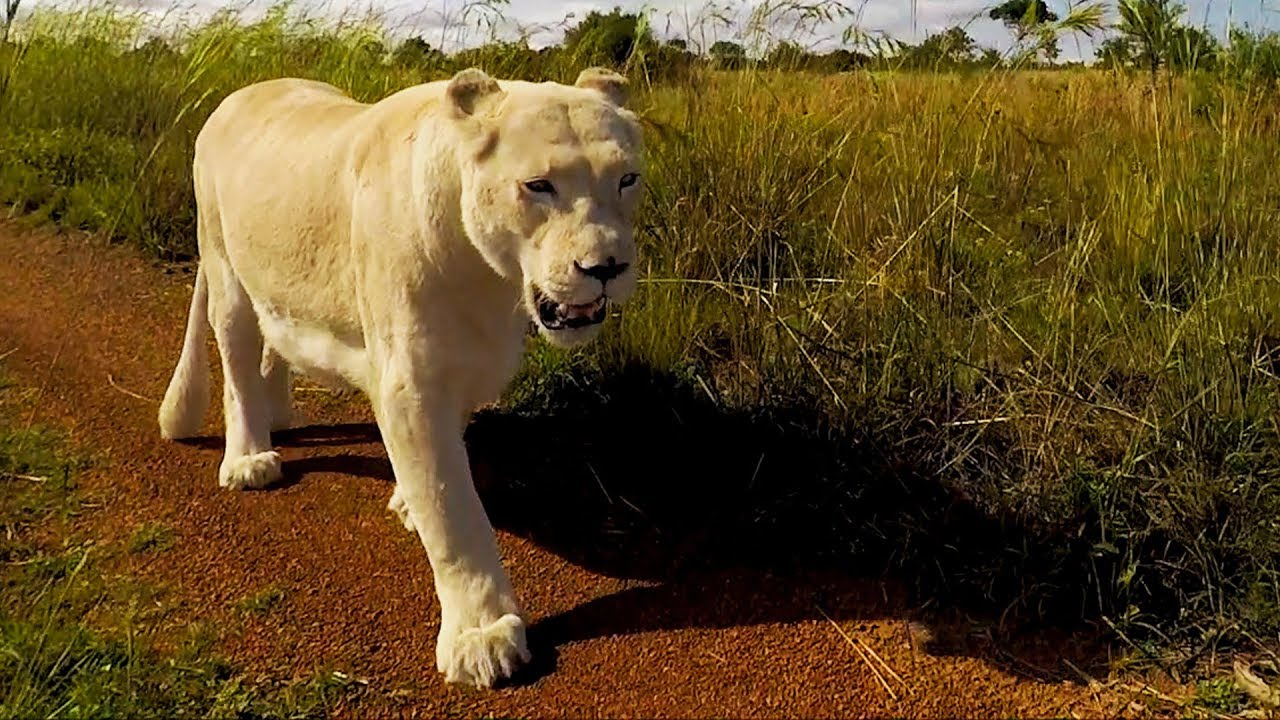 another-timely-archive-video-kevin-gives-drought-advice-the-lion-whisperer