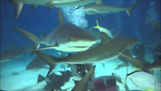 Bahamas diving-sharks