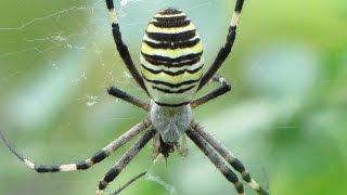 Osasti pajek (Argiope bruennichi)