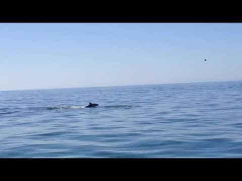 Dolphins Santa Barbara 2017